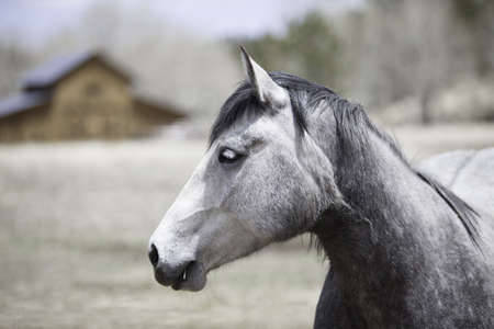 White And Grey Horse With A Blurred Barn