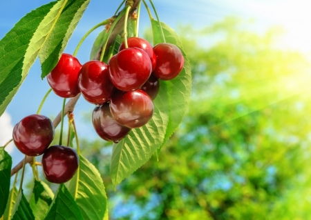 Red and sweet cherries on a branch just before harvest in early summer