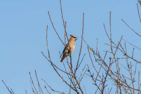 Bird Waxwing on the branches of a Bush day
