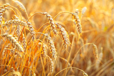 Photo pour Wheat field. Ears of golden wheat. Beautiful Sunset Landscape. Background of ripening ears. Ripe cereal crop. close - image libre de droit