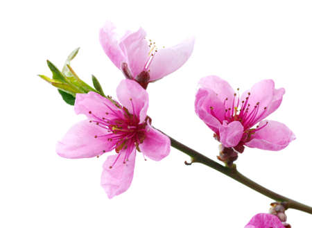 Photo pour Branch with pink blossoms isolated on white background   - image libre de droit