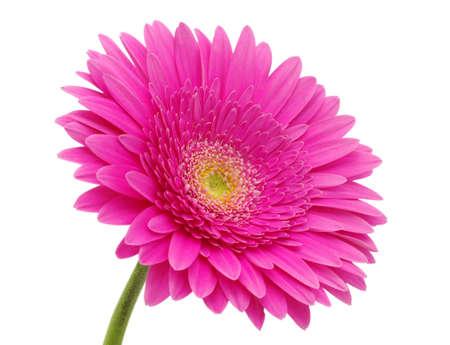 close up of a beautiful gerbera flower