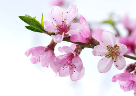 Photo for Branch with pink blossoms isolated on white background   - Royalty Free Image