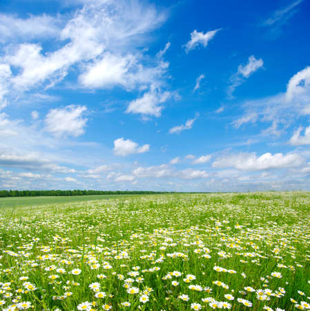 Photo pour field of camomiles and blue cloudy sky - image libre de droit