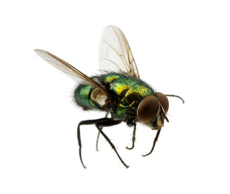 Foto de green fly isolated on white - Imagen libre de derechos
