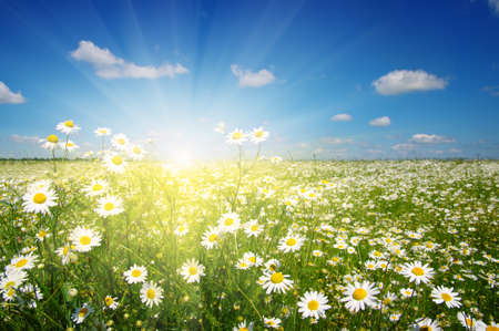 Photo pour Field of daisies,blue sky and sun. - image libre de droit