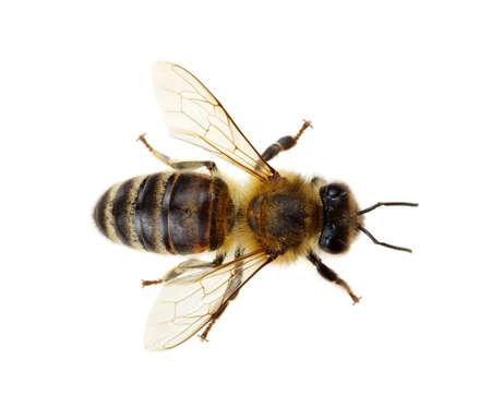 Foto für Bee isolated on the white - Lizenzfreies Bild