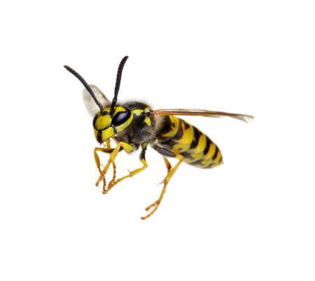 Photo pour wasp isolated on white background - image libre de droit