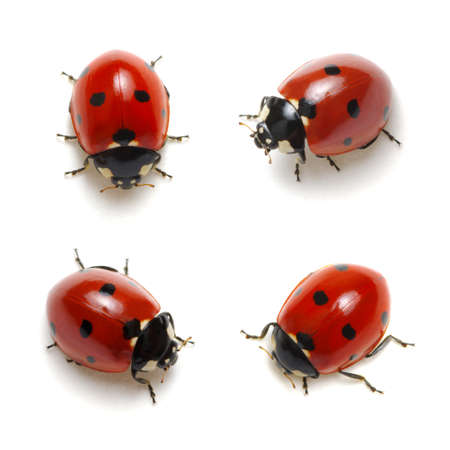 Photo for Collection of ladybugs isolated on white - Royalty Free Image