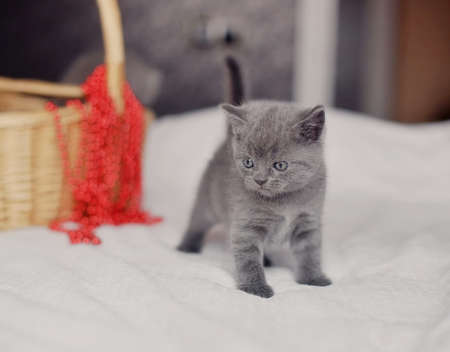 gray kitten on a sofa near a basket with a red beads
