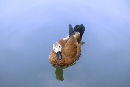 Birds in wildlife. Buetifull duck swims in lake or river with bl