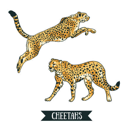 Ilustración de Vector illustration with Leopard / cheetah. Jumping animal. Hand drawn objects isolated on the white background. - Imagen libre de derechos