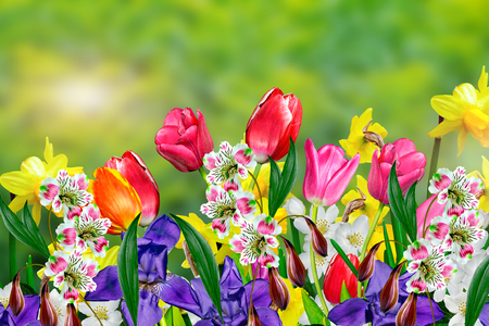 Photo pour Spring flowers daffodils and tulips - image libre de droit