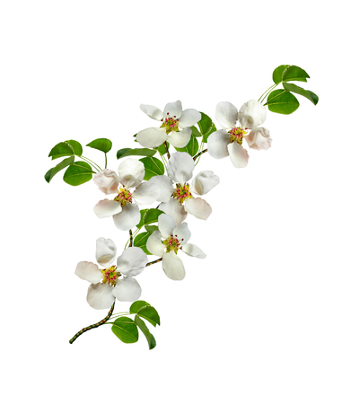 Foto de White pear flowers branch isolated on white background - Imagen libre de derechos