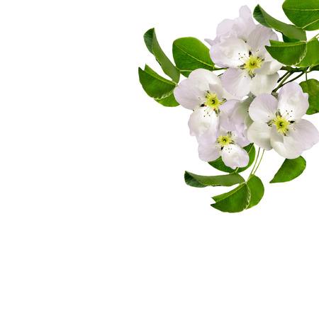 Foto für White apple flowers branch isolated on white background. delicate flower - Lizenzfreies Bild