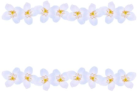Photo for branch of jasmine flowers isolated on white background.  - Royalty Free Image