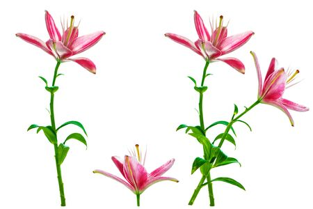 Photo for Bright lily flowers isolated on white background. - Royalty Free Image