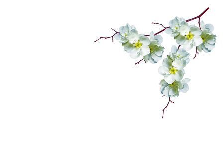 Foto für Flowering branch of cherry isolated on a white background. nature - Lizenzfreies Bild