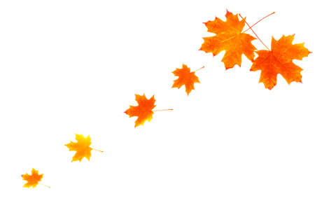 Photo for Bright autumn maple leaf on a white background. foliage. Fall concept - Royalty Free Image