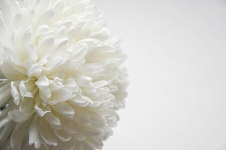 Photo for White chrysanthemum. Beautiful white flowers. romance and tenderness. - Royalty Free Image