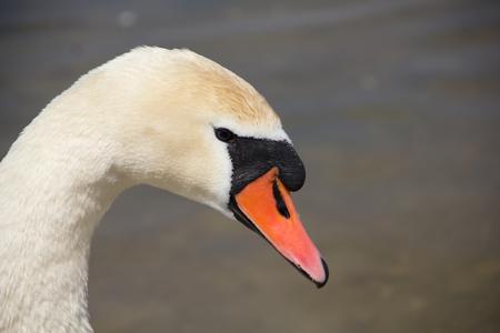 Photo pour White swan on the lake. Beautiful white bird. - image libre de droit