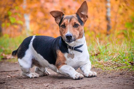 Photo pour Dog Jack Russell Terrier for a walk in the park. Home pet. Dog walking in the park. Autumn Park. Bright coat color - image libre de droit