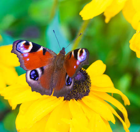 Photo pour The urticaria butterfly sits on a yellow flower. beautiful butterfly. Insect. Insect on a flower. Butterfly on a flower. Design of printed products - image libre de droit