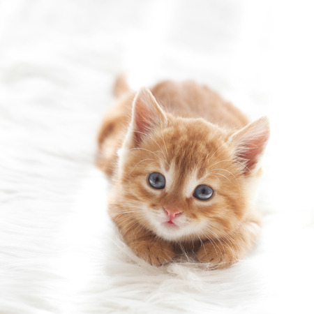 Cute little red kitten lies on fur white blanket