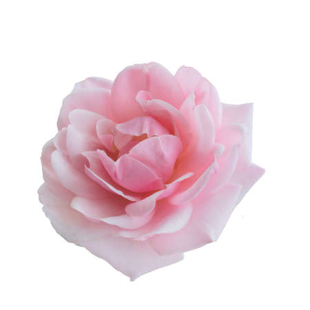 Photo for Fresh beautiful pink rose isolated on white background - Royalty Free Image