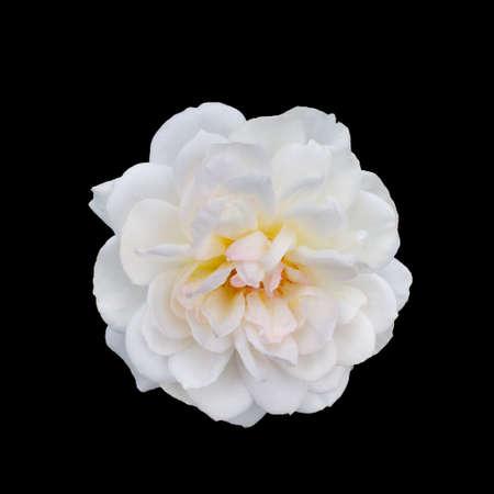 Photo for beautiful white rose - Royalty Free Image