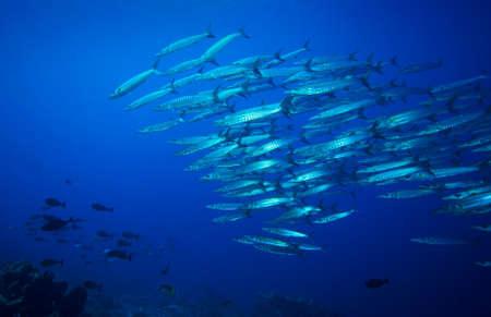 Coral reef and barracuda school on Komodo Islands in Indonesia