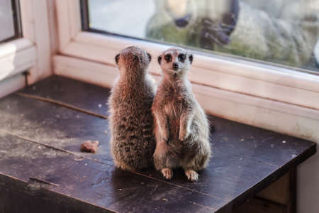 a pair of small meerkats with a curious look, amicably studying the visitors of the zoo