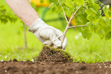 Photo pour Hand with glove Planting Small Tree with roots in a garden on green background - image libre de droit