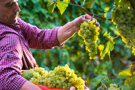 Photo pour Worker Cutting White Grapes from Vines during Wine Harvest in Italian Vineyard - image libre de droit