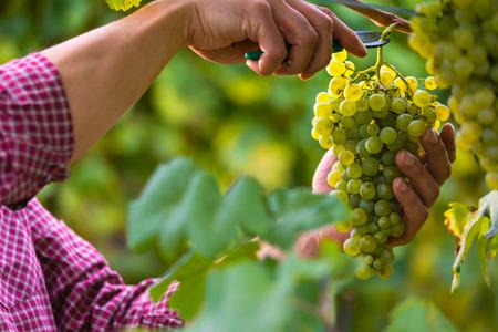 Foto für Close up of Worker's Hands Cutting White Grapes from vines during wine harvest in Italian Vineyard. - Lizenzfreies Bild
