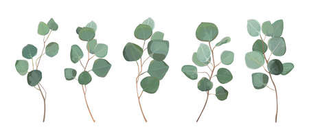 Illustration for Eucalyptus silver dollar greenery, gum tree foliage natural leaves. - Royalty Free Image