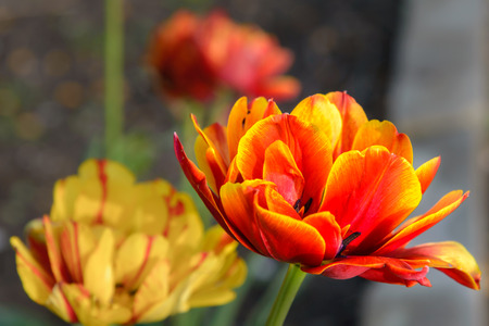 A large red-and-yellow bud of the tulip blossomed in the spring