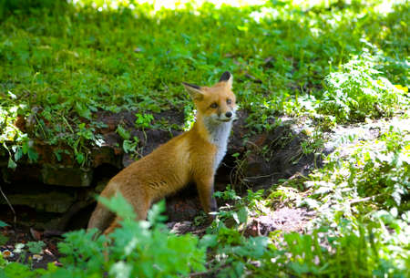 A little fluffy red fox came out of hiding.