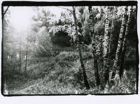 Photo for Several birches in a summer forest in the backlight. Attention! Image contains graininess and other analog photography artifacts! - Royalty Free Image