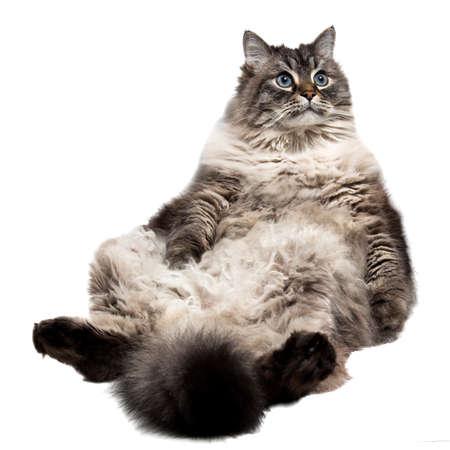 Amusing domastic fluffy  Siberian cat