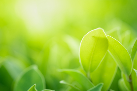 Photo pour Close up beautiful view of nature green leaves on blurred greenery tree background with sunlight in public garden park. It is landscape ecology and copy space for wallpaper and backdrop. - image libre de droit