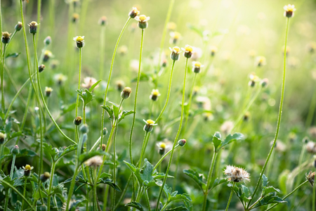 Beautiful yellow grass flower blooming on greenery leaf with sunlight in morning time.Freshness concept use for decorative wallpaper and template of website magazine. -Image.