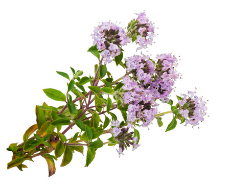 Photo for Medicinal plant: Thyme - Royalty Free Image