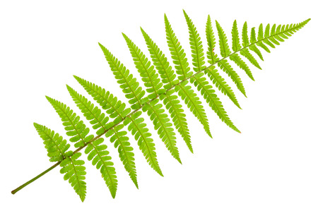 Fern isolated on white backgroundの写真素材