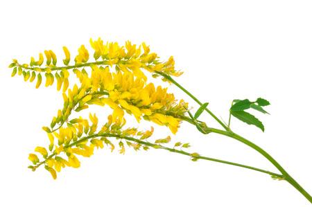 Medicinal plant: Melilotus officinalis (Yellow Sweet Clower)