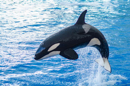 a jumping orca in a blue sea