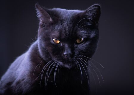 Photo pour Black Britain cat with yellow eyes - image libre de droit