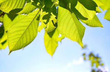 Foto de Green leaves in the foreground against a blue sky - Imagen libre de derechos