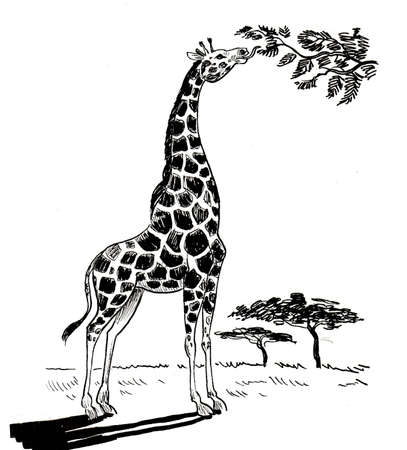 Photo pour Giraffe animal eating leaves from the tree in the savanna. Ink black and white drawing - image libre de droit