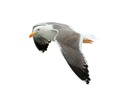 Beautiful seagull isolated on white background